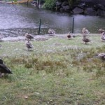 Real Ducks Enjoying the Rain